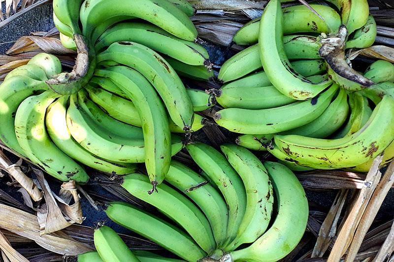 Régimes de bananes vertes pour la transformation en farine.
