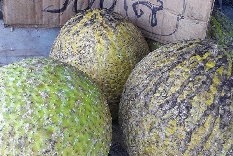 Fruits à pain (uru) mûrs