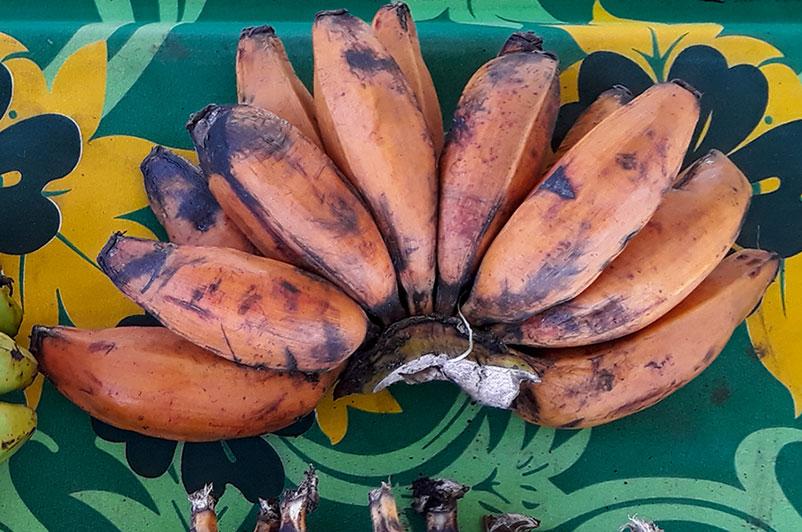 Main de bananes fei plantain mûres.